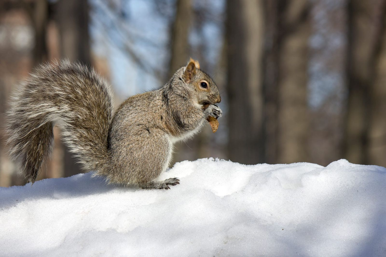 Squirrel eating a nut on a snowbank